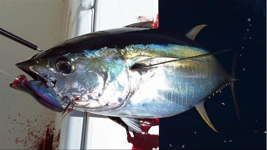 Sport Fish Panama Island Lodge: Tuna on Spinner/Popper combo