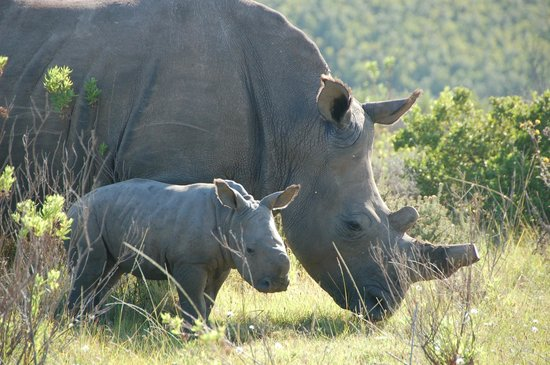 Botlierskop Private Game Reserve: Rhino calf