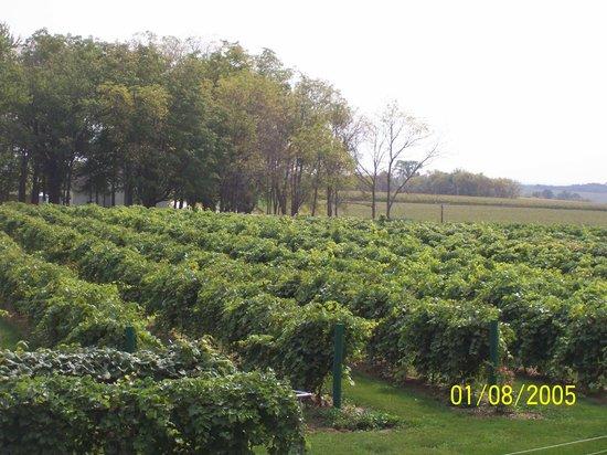 Winneshiek Wildberry Winery: We have 8 acres of vineyards and 2+ of rhubarb.