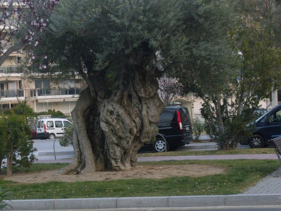 Ohtels Belvedere: Olivos milenarios de Salou