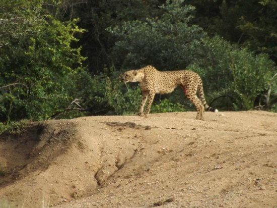 Jackalberry Lodge: Cheetah