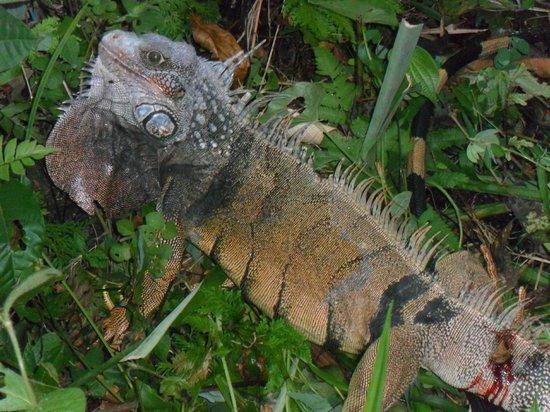 Casita Rio Indio: Iguana