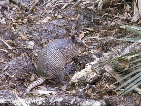 Myakka River State Park: armadillo