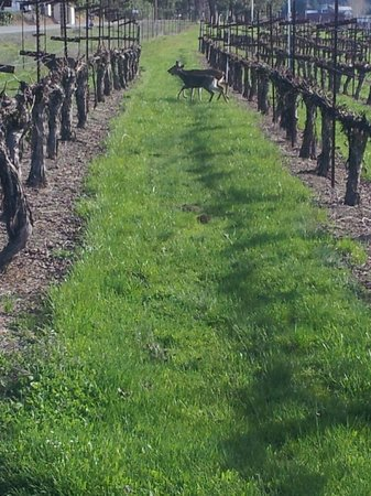 Wine Hopper Tours: Deer through the vineyard