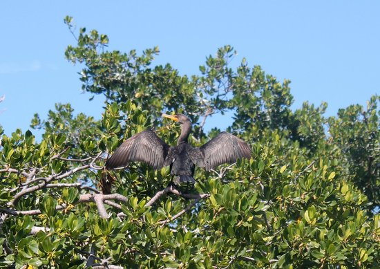 Key West Eco Tours: Mangrove Trees