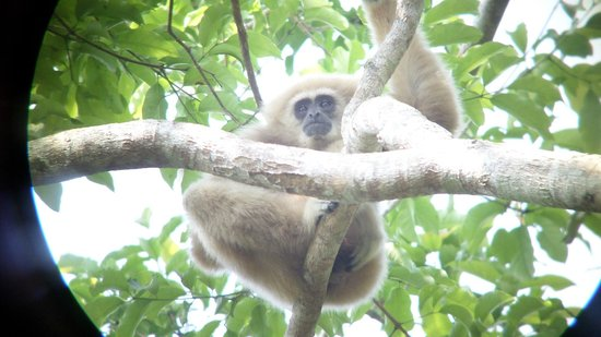 Khao Yai National Park: Gibbon