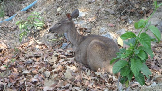 Khao Yai National Park: Deer