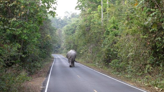 Khao Yai National Park: Elephant on the road. Watch out if you drive. Give these guys plenty of room!