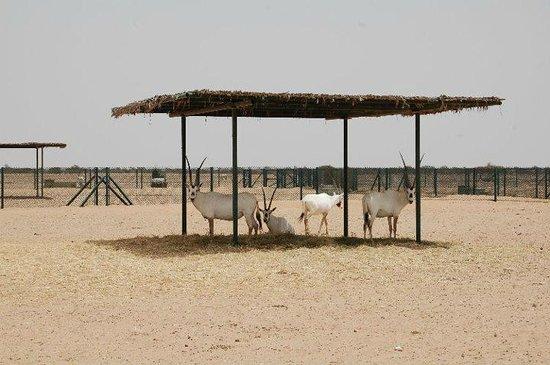 Arabian Oryx Sanctuary : Beautiful Oryx