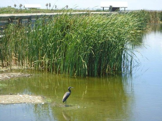 South Padre Island Birding and Nature Center : Birds and Cat Tails