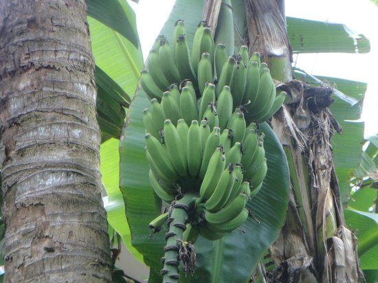 Wakulla Suites : Banana trees in the courtyard
