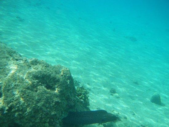 Beach Albatros Sharm: Moray eel