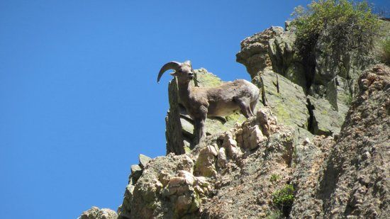A Wanderlust Adventure: Big Horn Sheep spotted on one of our trips