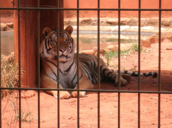 Zoologico de Americana : Tigre