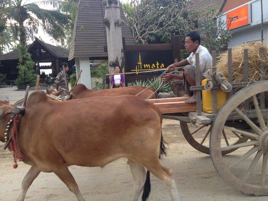 Amata Resort and Spa : passing oxcart