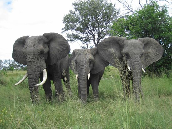 Sanctuary Chobe Chilwero : Elephants on the move...bring extra memory cards for your camera as I took over 1700 pictures