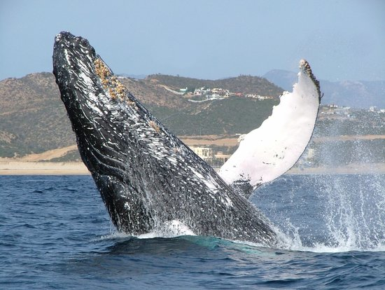 Cabo Adventures : Whale Watching in Cabo