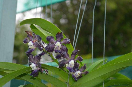 Sarawak Orchid Garden : 6