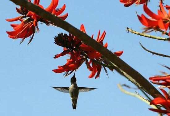 Alta Vista Botanical Gardens : Humingbird feeding on a coral tree
