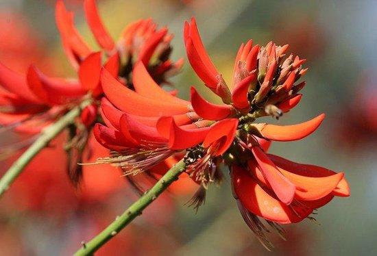Alta Vista Botanical Gardens : Erythrina Syksii (Coral tree) bloom