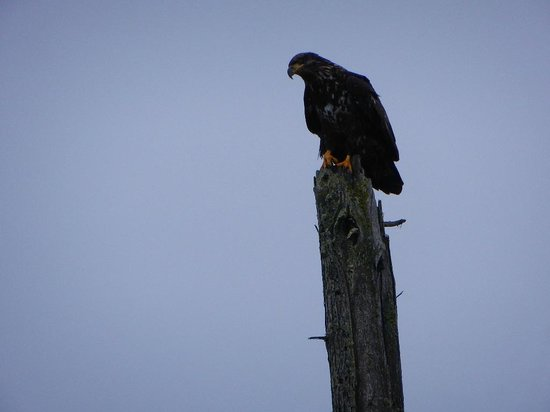 Dungeness National Wildlife Refuge: Juvenile bald eagle watching for a dinner opportunity