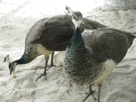 Tours Plaza - Day Tours: peacocks wandering around Playa Palancar