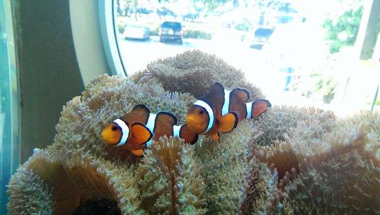 Loggerhead Marinelife Center: Clown Fish in tank at entrance