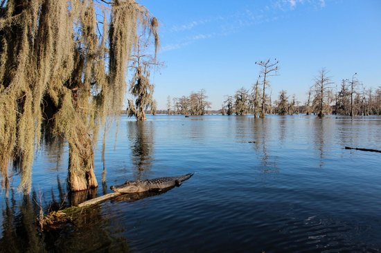 Champagne's Cajun Swamp Tours: Alligator