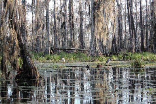 Champagne's Cajun Swamp Tours: Black crowned night herons