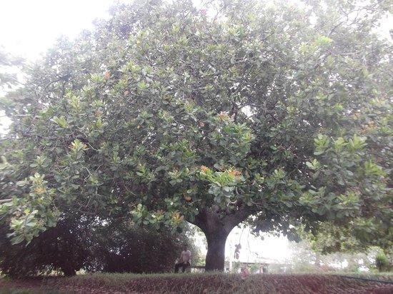 Cabaceiras do Paraguacu, BA: Árvore centenária.