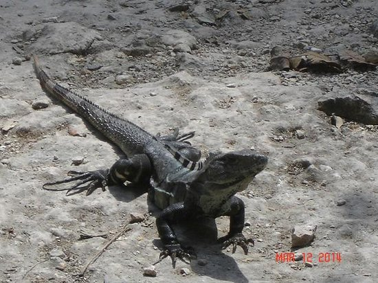 Ruines de Cobá : Iguanas like to bask in the hot sun.