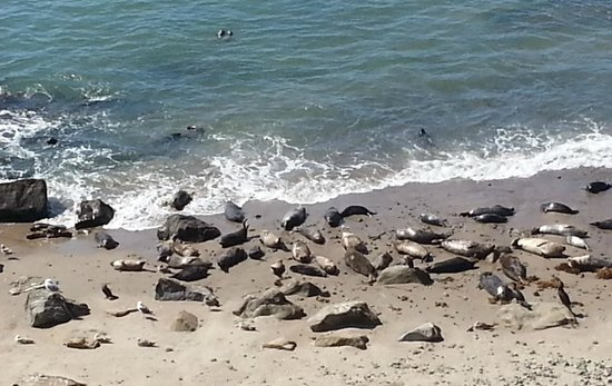Carpinteria Harbor Seal Preserve and Rookery: Some of the seals on the beach
