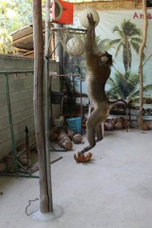 Amazing Bukit Safari: slam-dunking monkey