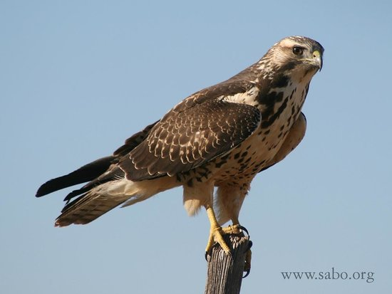 Bisbee, AZ: Swainson's Hawks are among many spectacular birds of prey found in southeastern Arizona.