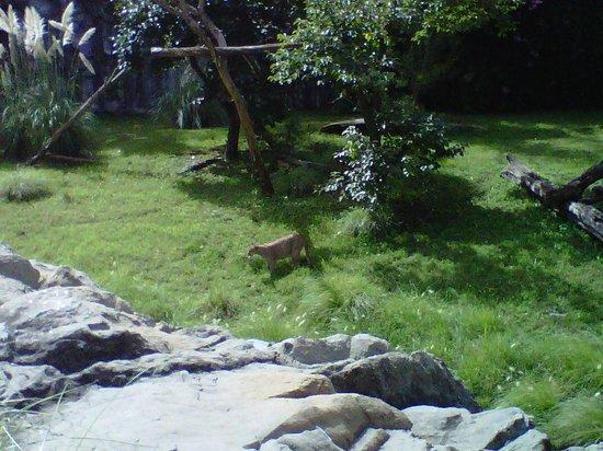 Temaiken Biopark : Puma