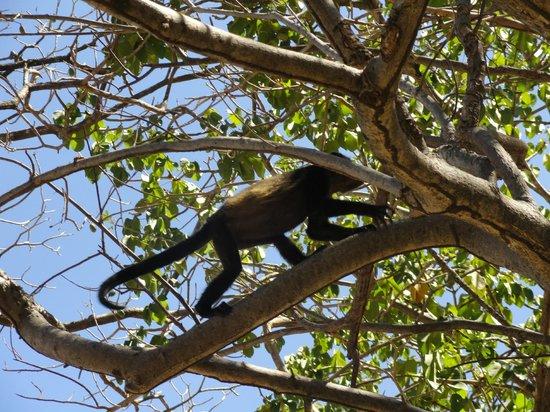 The Westin Golf Resort & Spa, Playa Conchal: Howler monkeys on the beach