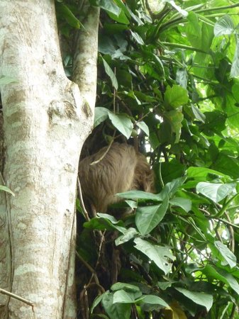Hone Creek, Costa Rica: Sloth in the Tree