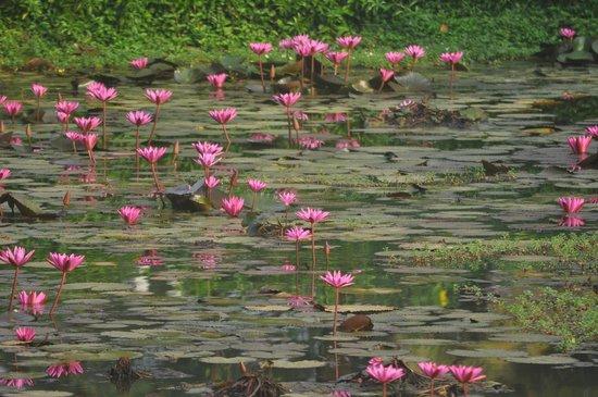 Park Hyatt Goa Resort and Spa: Вид из окна на озеро с лотосами