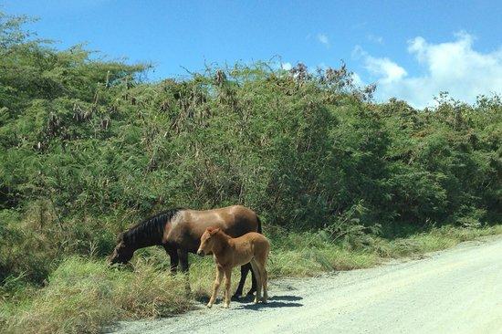 Colt & Mare seen along road to Caracas Beach