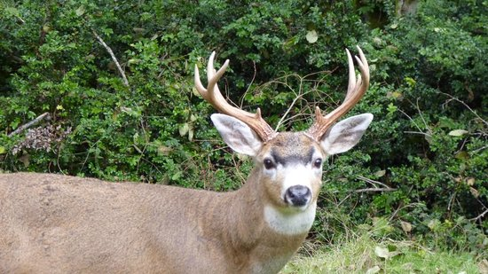 Whispering Firs Bed and Breakfast: Friendly Deer