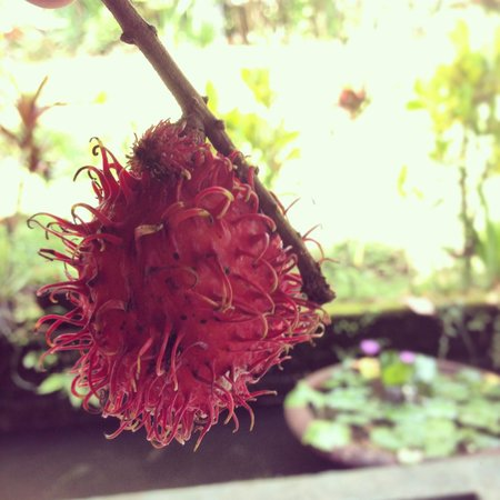 Tiing Gading Bungalows: Free rambutan courtesy staff :D
