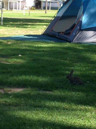 Ingenia Holidays Lake Macquarie: friendly rabbits