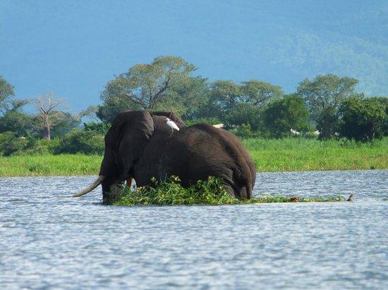 Liwonde Safari Camp: Swimming elephant with passangers