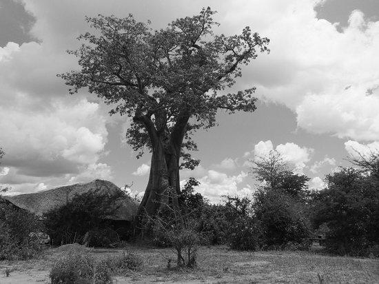 Liwonde Safari Camp: Might Baobob