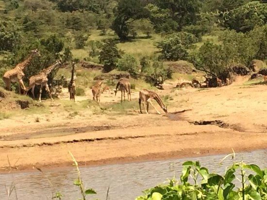 Karen Blixen Camp: Vakker utsikt fra restauranten - Giraffene besøker