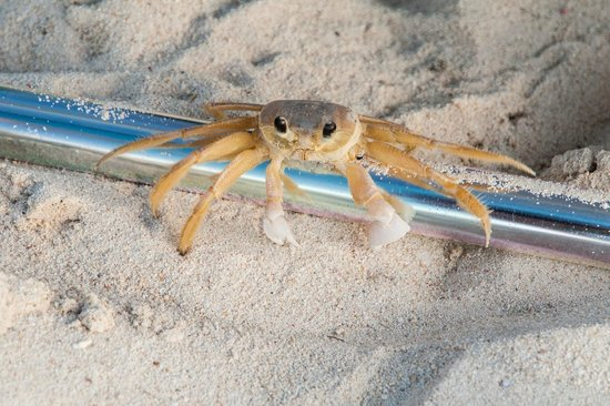 Seven Mile Beach: Ghost Crab on SMB