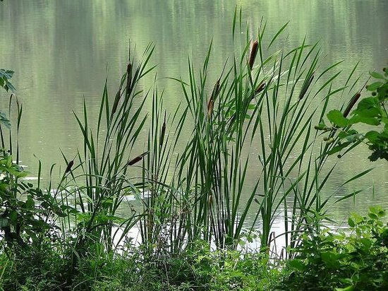 Historic Yates Mill County Park: reeds next to water