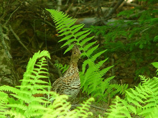 Grand Lake Stream, ME: Ruffed Grouse hen, Farm Cove Community Forest
