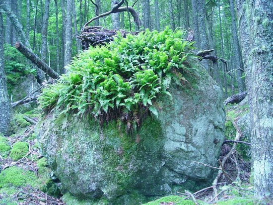 Downeast Lakes Land Trust: Boulder with ferns near the Little Mayberry Cove Trail