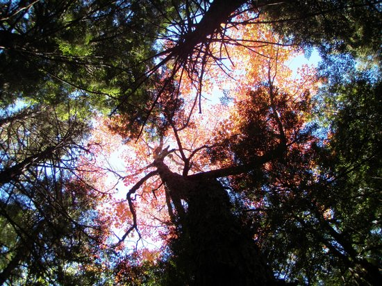 Downeast Lakes Land Trust: Looking up at fall foliage, Farm Cove Community Forest